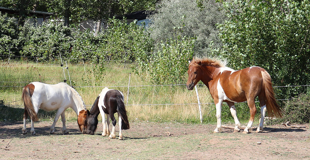 Poneys de la mini-ferme du camping Méditerranée Plage à Vias